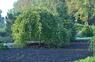Ива Килмарнок (Salix caprea Kilmarnok)