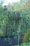 Яблоня плакучая Пендула (Pendula)