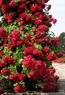 Розы кустовые, вьющиеся, бордюрные